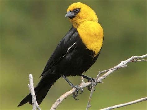 yellow headed blackbird identification all about birds