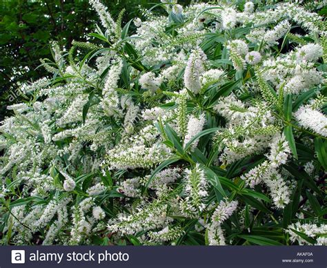evergreen shrubs with white flowers hebe salicifolia white flowering evergreen shrub stock