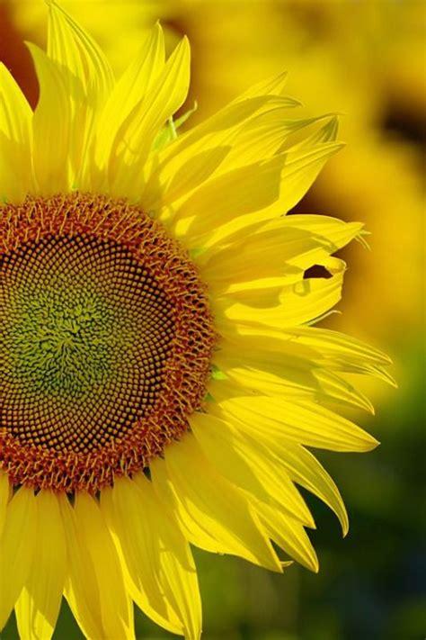 Tas Pesta Sun Flower 24 1915 best images about sunflowers on pink