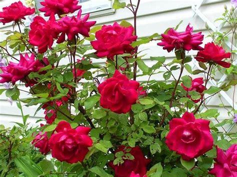 mudah menanam  merawat bunga mawar omah tips
