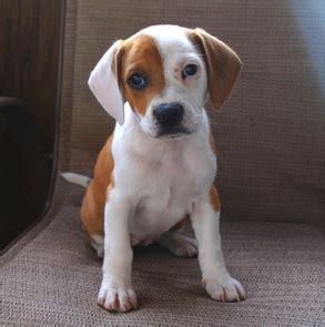 boxer mix puppy bogle boxer beagle mix info temperament puppies pictures