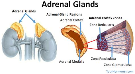 adrenal gland diagram adrenal glands diagram www pixshark images