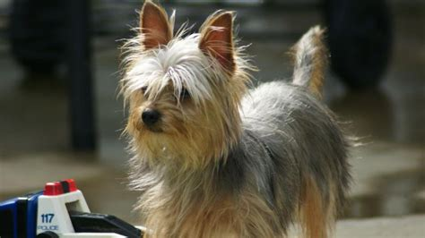 how fast do yorkies grow how does it take for a yorkie s hair to grow reference
