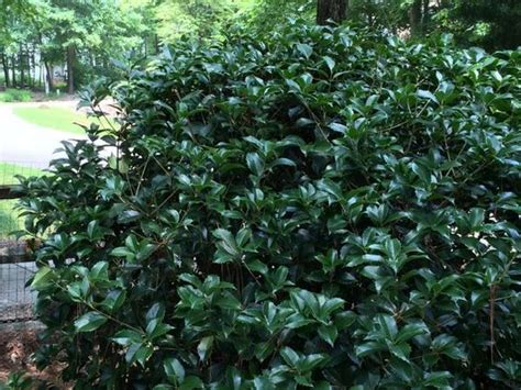 Olive Tree by Osmanthus Fragrans