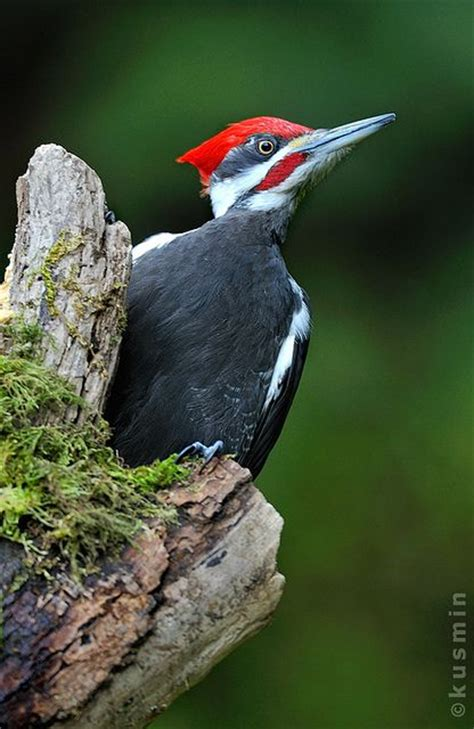 1000 images about woodpeckers on pinterest bird feeders