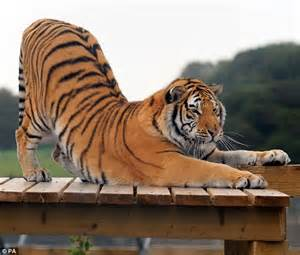 Tiger Is A Scaredy Cat what a scaredy cat bengal tiger scales 15ft activity