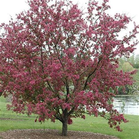 onlineplantcenter 5 gal purple prince crabapple tree