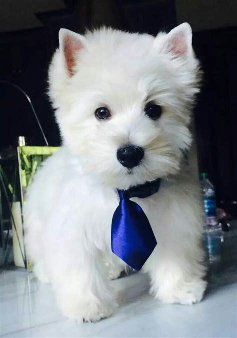 images of westie haircuts 9 best images about westie on pinterest white terrier