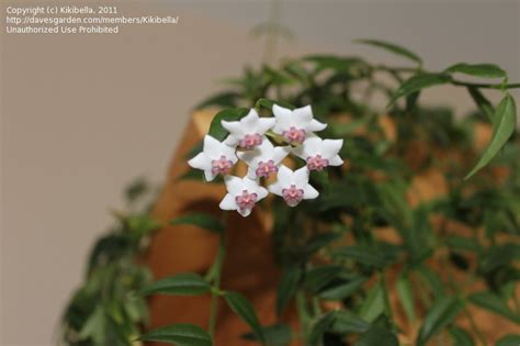 flowering house plants identification plant identification closed mystery houseplant small white flowers 1 by kikibella