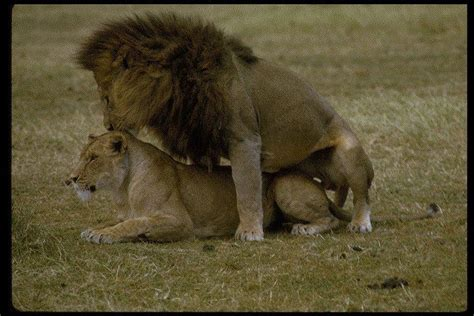 African Animals Mating Videos | african animals mating videos newhairstylesformen2014 com