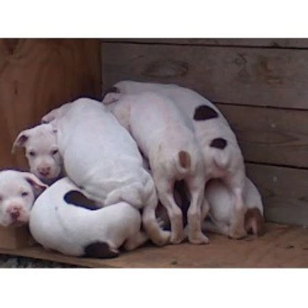 lowes highland indiana lowes bulldogges bulldog breeder in sevierville
