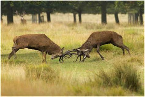 deer attacks do deer attack humans