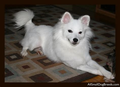 miniature american eskimo puppies kodie american eskimo miniature small dogs