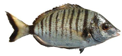 come cucinare il sarago sarago pesce variet 224 come cucinare e scegliere