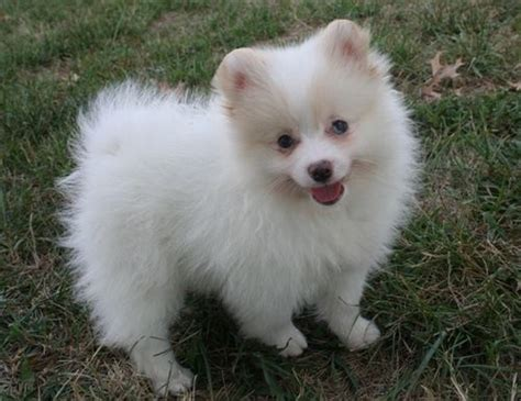 pomeranian puppies for adoption pomsky puppies for adoption quotes