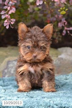 yorkies for sale in fresno terrier puppy for sale yorkie puppies terrier