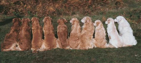 golden retriever length breed standard