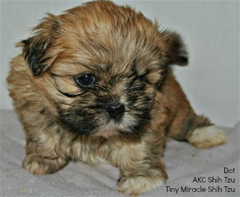 black shih tzu names names for a brown select from hundreds of choices