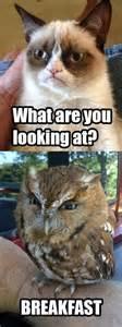 Funny Owl Meme - funny grumpy cat owl grumpycat meme the grumpy cat