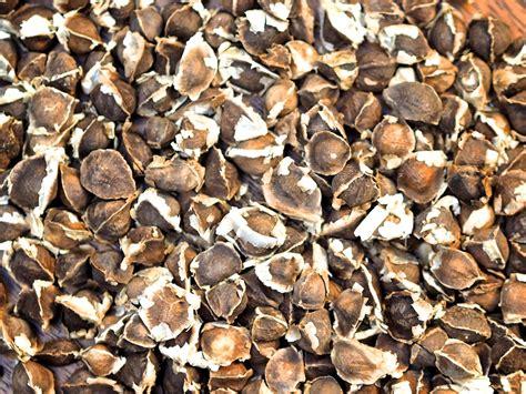 with seed moringa seeds moringa oleifera seeds pkm1 a healthy leaf