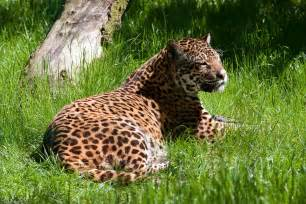 Jaguar Panthera Onca Facts File Panthera Onca Amazona Zoo Cromer Norfolk