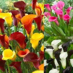 Pink Calla Lily Calla Lily Collection Zantedeschia