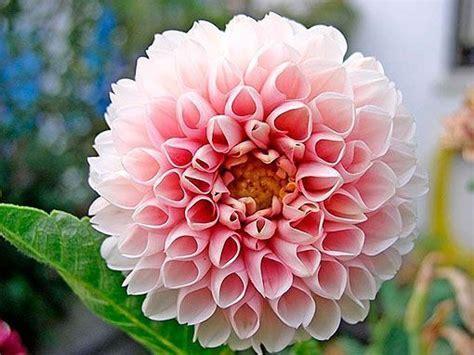 la flor de dalia laberinto dalia la flor m 225 s bella y espectacular del oto 241 o