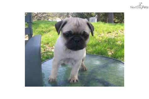 pugs for sale in md pug puppy for sale near southern maryland maryland 09032fc1 3fd1