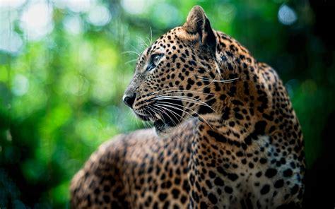 leopard hd hd desktop wallpapers  hd
