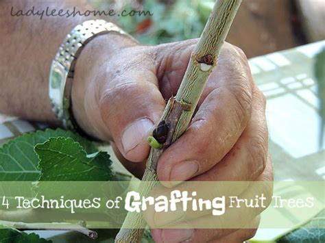 fruit tree grafting methods fruit tree grafting lone farmstead