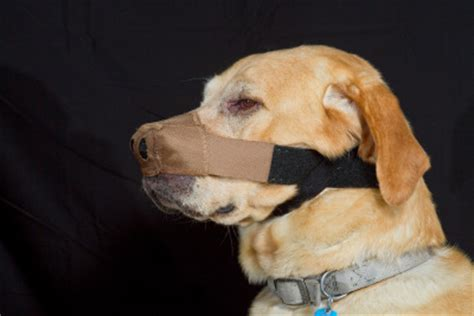 discoid lupus in dogs nose protectors