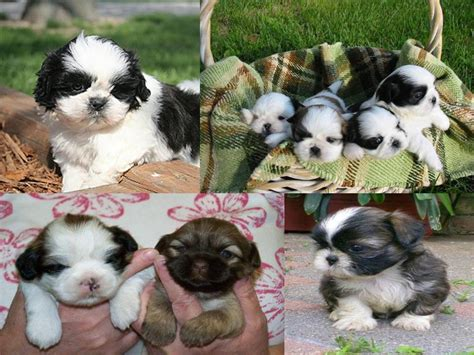 shih tzu care sheet lovely pets shih tzu puppies