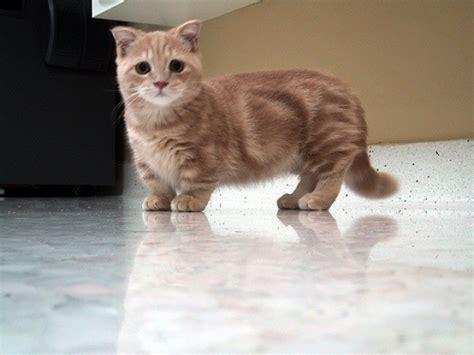 Balmut Mini Karakter Blue Trivia munchkin cat breeders rescue pictures facts care animals adda