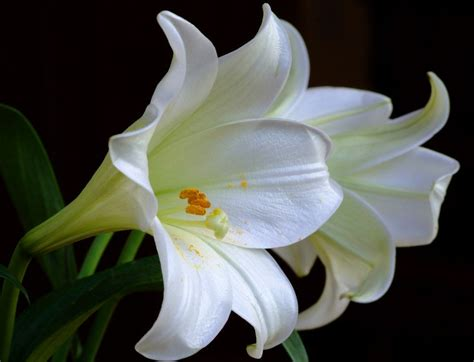 romantic flowers lily flower