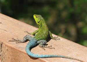 colorful lizard free stock photos rgbstock free stock images colorful
