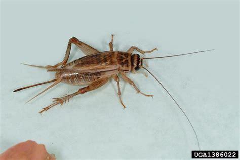 house cricket acheta domesticus orthoptera gryllidae