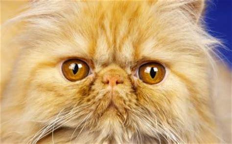 cat nose whiskers wallpaper katze schlafen nase schnurrhaare z 228 hne