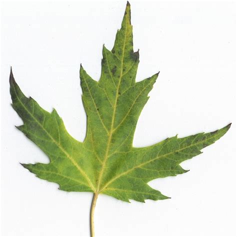 maple tree leaf shape differences between maple and soft maple the wood database