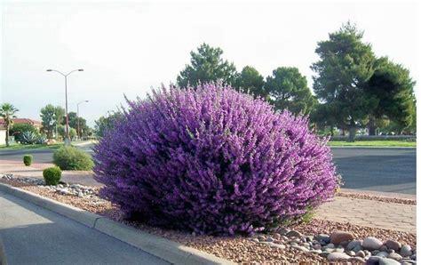 plantfiles pictures salvia species dorr s sage mint