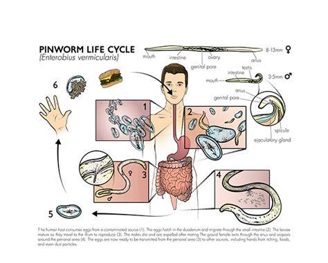 pinworm cycle diagram malaria cycle diagram malaria get free image about