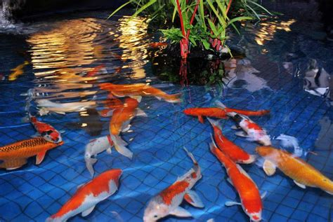 desain aquarium air tawar minimalis model kolam ikan hias koi minimalis terbaru