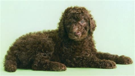 brown poodle puppy brown standard poodle puppy www pixshark images galleries with a bite