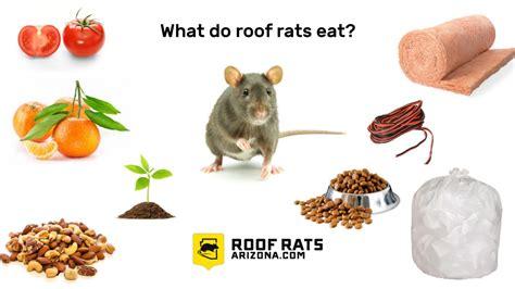 what do roof rats eat roofratsarizona com
