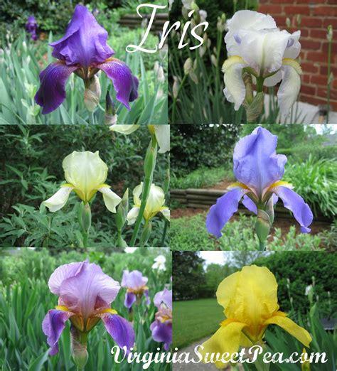 top 28 when to split irises dividing bearded iris splitting irises rainydaymagazine