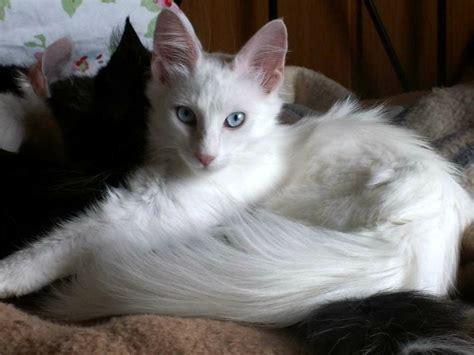 memelihara kucing persia tips memberi makan kucing persia cara merawat kucing anggora rawat bulunya