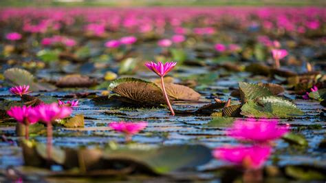 red flowers lotus lake thale noi thailand hd wallpaper