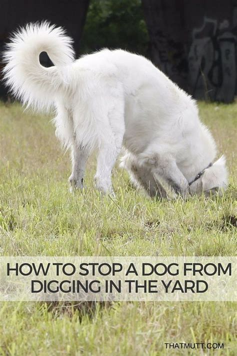 how to stop dogs from digging how to stop a from digging in the yard thatmutt