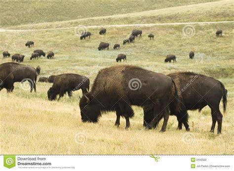 amerikanischer herd buffalo herd stock photo image 3193500