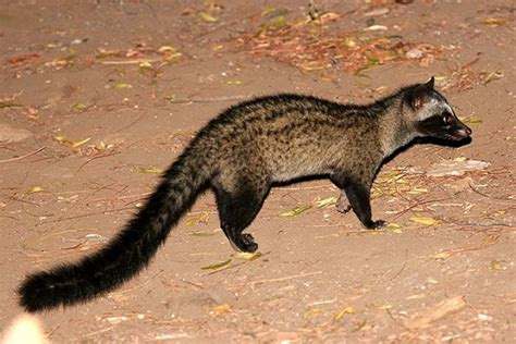 Asian Palm Civet Facts, Habitat, Diet, Life Cycle, Baby, Pictures