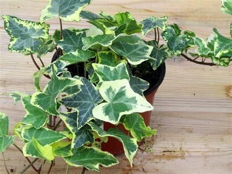 Hedera Helix Zimmerpflanze by Hedera Helix Favorit Efeu Pflanzen Versand F 252 R Die